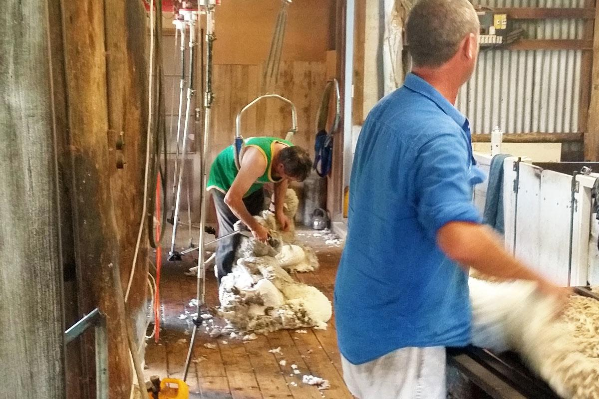 Nundle Shearing 2017